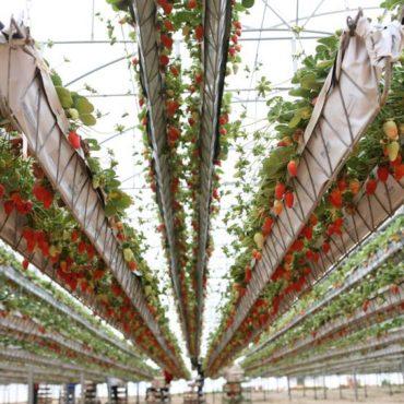 Presentan un proyecto de inversión para frutillas por hidroponía